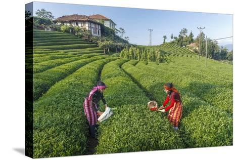 Girls Collecting Tea in Field in Rize, Black Sea Region of Turkey-Ali Kabas-Stretched Canvas Print