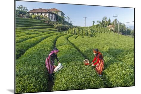 Girls Collecting Tea in Field in Rize, Black Sea Region of Turkey-Ali Kabas-Mounted Photographic Print
