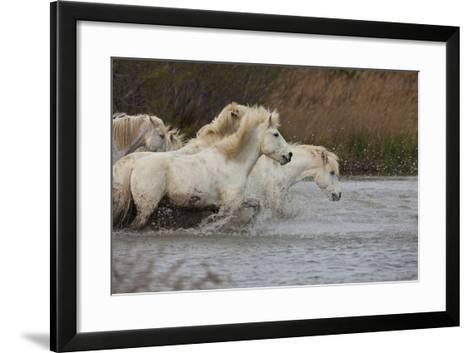 White Camargue Horses Running in Water, Provence, France-Jaynes Gallery-Framed Art Print