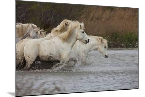 White Camargue Horses Running in Water, Provence, France-Jaynes Gallery-Mounted Photographic Print