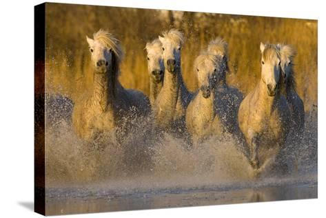 Seven White Camargue Horses Running in Water, Provence, France-Jaynes Gallery-Stretched Canvas Print