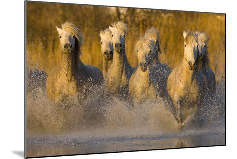 Seven White Camargue Horses Running in Water, Provence, France-Jaynes Gallery-Mounted Photographic Print