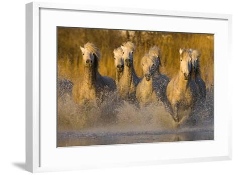 Seven White Camargue Horses Running in Water, Provence, France-Jaynes Gallery-Framed Art Print