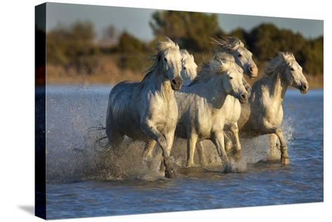White Camargue Horses Running in Water, Provence, France-Jaynes Gallery-Stretched Canvas Print