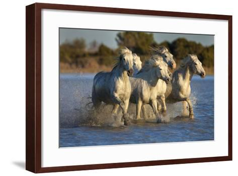 White Camargue Horses Running in Water, Provence, France-Jaynes Gallery-Framed Art Print