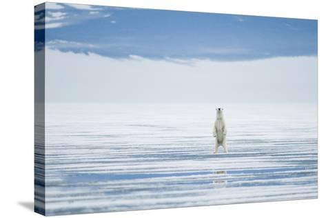 Polar Bear Travels Along Sea Ice, Spitsbergen, Svalbard, Norway-Steve Kazlowski-Stretched Canvas Print