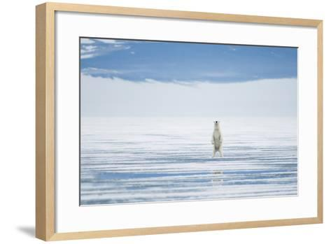 Polar Bear Travels Along Sea Ice, Spitsbergen, Svalbard, Norway-Steve Kazlowski-Framed Art Print