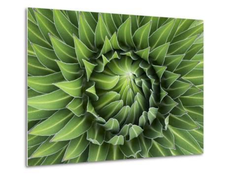 Giant Lobelia Rosette of Leaves, Mount Kenya National Park, Kenya-Martin Zwick-Metal Print