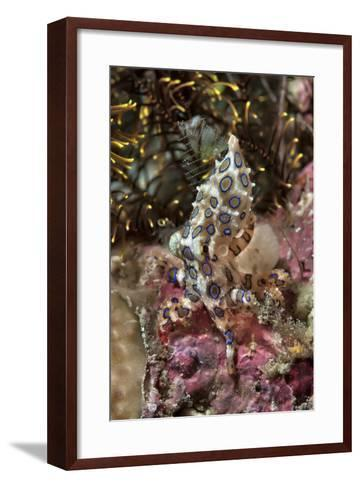 Blue-Ring Octopus and Coral, Raja Ampat, Papua, Indonesia-Jaynes Gallery-Framed Art Print