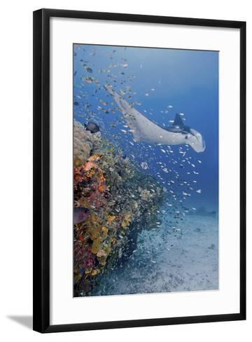 Manta Ray, Fish and Coral, Raja Ampat, Papua, Indonesia-Jaynes Gallery-Framed Art Print