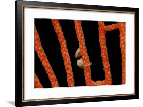 Close-Up of World's Smallest Seahorse, Raja Ampat, Papua, Indonesia-Jaynes Gallery-Framed Art Print
