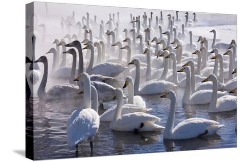 Whooper Swans, Hokkaido, Japan-Art Wolfe-Stretched Canvas Print