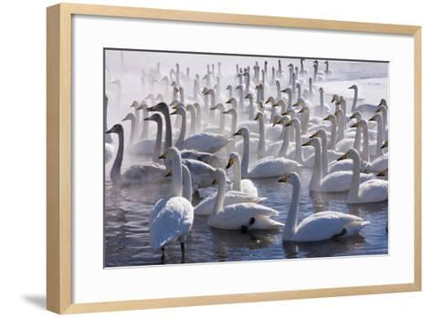 Whooper Swans, Hokkaido, Japan-Art Wolfe-Framed Art Print