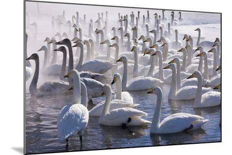 Whooper Swans, Hokkaido, Japan-Art Wolfe-Mounted Photographic Print