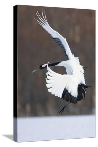 Japanese Crane, Hokkaido, Japan-Art Wolfe-Stretched Canvas Print