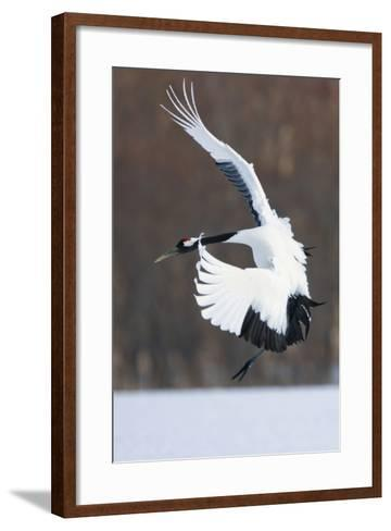 Japanese Crane, Hokkaido, Japan-Art Wolfe-Framed Art Print
