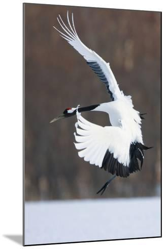 Japanese Crane, Hokkaido, Japan-Art Wolfe-Mounted Photographic Print