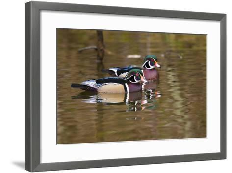 Wood Ducks, British Columbia, Canada-Art Wolfe-Framed Art Print