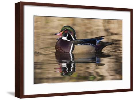 Wood Duck, British Columbia, Canada-Art Wolfe-Framed Art Print
