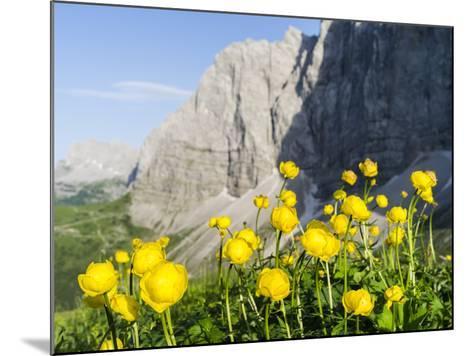 Globeflower, Karwendel Mountain Range, Austria-Martin Zwick-Mounted Photographic Print