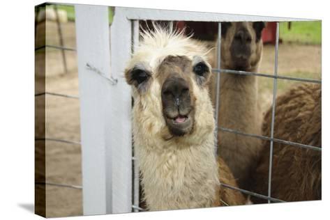Llama (Lama Glama) Looking into Camera-Matt Freedman-Stretched Canvas Print