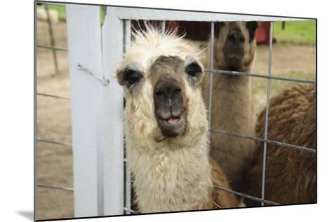 Llama (Lama Glama) Looking into Camera-Matt Freedman-Mounted Photographic Print