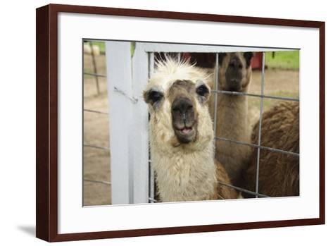 Llama (Lama Glama) Looking into Camera-Matt Freedman-Framed Art Print