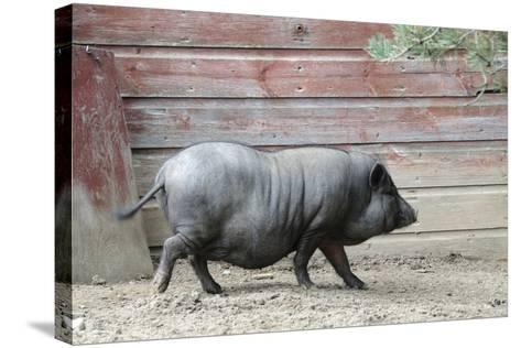 Adult Black Pot Pellied Pig Walking on Farm-Matt Freedman-Stretched Canvas Print