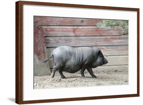 Adult Black Pot Pellied Pig Walking on Farm-Matt Freedman-Framed Art Print