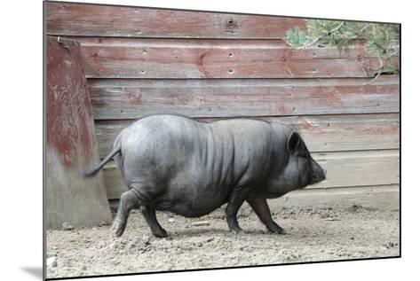 Adult Black Pot Pellied Pig Walking on Farm-Matt Freedman-Mounted Photographic Print