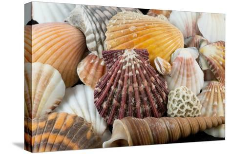 Detail of Seashells from around the World-Cindy Miller Hopkins-Stretched Canvas Print