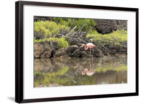 Greater Flamingo in Lagoon, Santa Cruz Island, Galapagos, Ecuador-Cindy Miller Hopkins-Framed Art Print