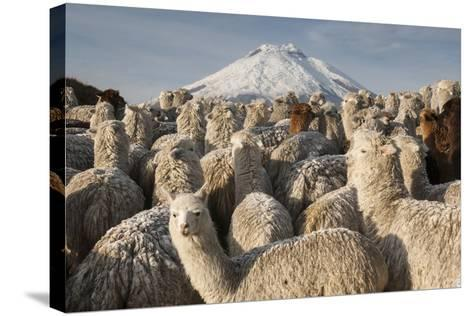 Cotopaxi Volcano and Alpacas, Cotopaxi National Park, Andes, Ecuador-Pete Oxford-Stretched Canvas Print