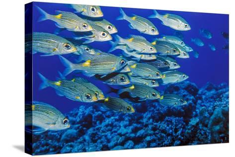 School of Yellowspot Emperor, Blue Corner, Palau, Micronesia-Ali Kabas-Stretched Canvas Print