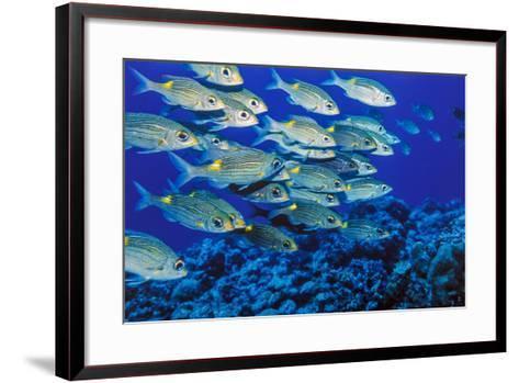 School of Yellowspot Emperor, Blue Corner, Palau, Micronesia-Ali Kabas-Framed Art Print
