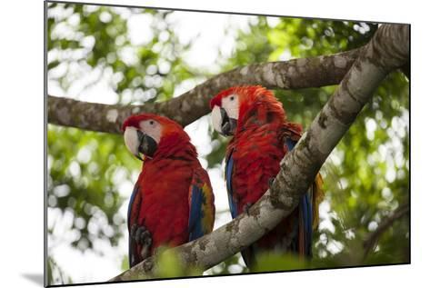 Scarlet Macaw (Ara Macao) Wild, Chiapas State, Mexico-Michel Benoy Westmorland-Mounted Photographic Print