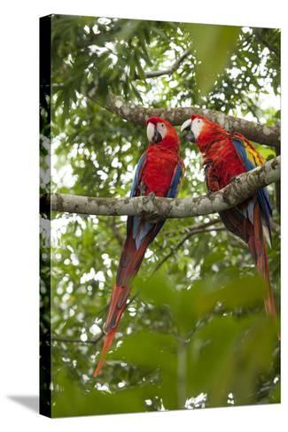 Scarlet Macaw (Ara Macao) Wild, Chiapas State, Mexico-Michel Benoy Westmorland-Stretched Canvas Print