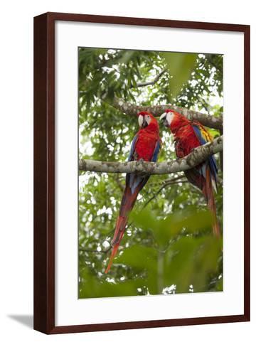 Scarlet Macaw (Ara Macao) Wild, Chiapas State, Mexico-Michel Benoy Westmorland-Framed Art Print