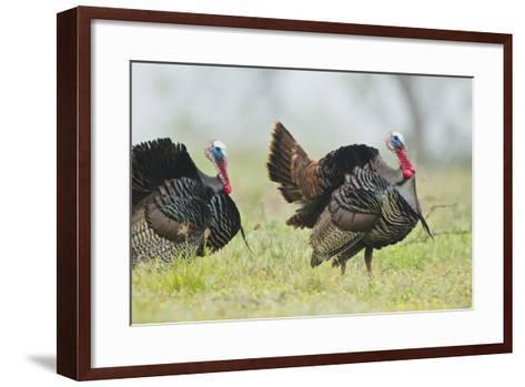 Wild Turkey (Meleagris Gallopavo) Male Strutting, Texas, USA-Larry Ditto-Framed Art Print