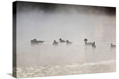 Wood Duck (Aix Sponsa) Flock on Comal River at Sunrise, Texas, USA-Larry Ditto-Stretched Canvas Print