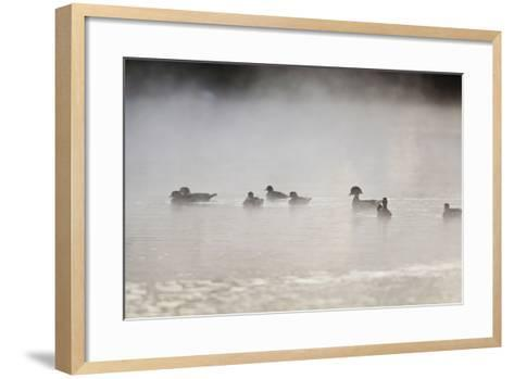 Wood Duck (Aix Sponsa) Flock on Comal River at Sunrise, Texas, USA-Larry Ditto-Framed Art Print