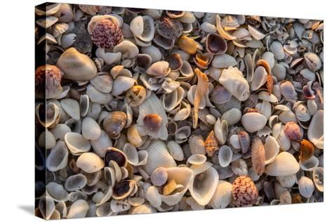 Seashells on Sanibel Island, Florida, USA-Chuck Haney-Stretched Canvas Print