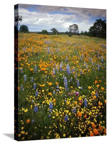 Wildflowers, Avenales Wildlife Area, Shell Creek Road, California, USA-Charles Gurche-Stretched Canvas Print