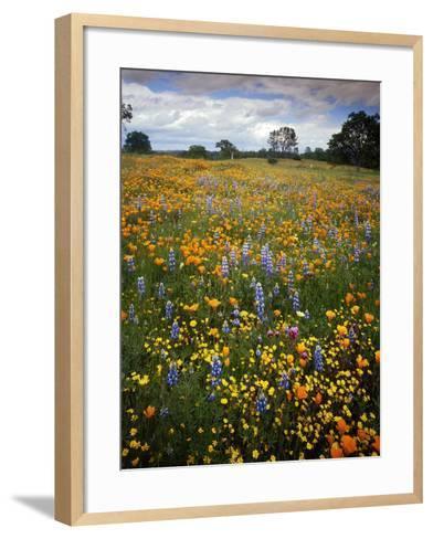 Wildflowers, Avenales Wildlife Area, Shell Creek Road, California, USA-Charles Gurche-Framed Art Print