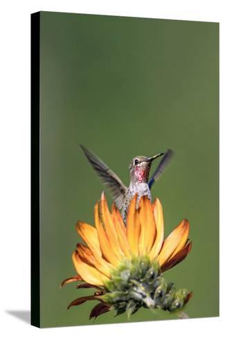 Anna's Hummingbird, Santa Cruz, California, USA-Tom Norring-Stretched Canvas Print