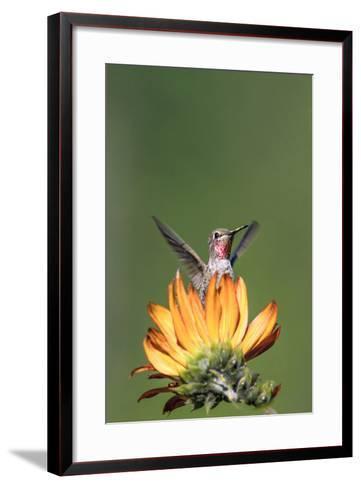 Anna's Hummingbird, Santa Cruz, California, USA-Tom Norring-Framed Art Print