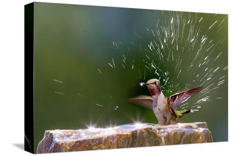 Anna's Hummingbird Taking a Shower, Santa Cruz, California, USA-Tom Norring-Stretched Canvas Print