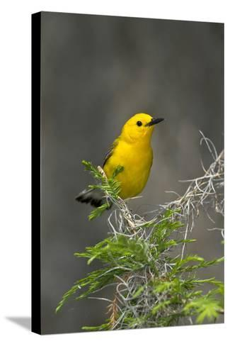 Prothonotary Warbler Male on Breeding Territory, Texas, USA-Larry Ditto-Stretched Canvas Print
