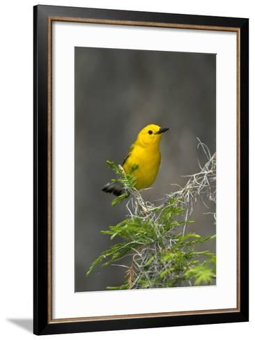 Prothonotary Warbler Male on Breeding Territory, Texas, USA-Larry Ditto-Framed Art Print
