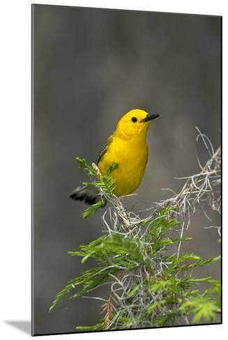 Prothonotary Warbler Male on Breeding Territory, Texas, USA-Larry Ditto-Mounted Photographic Print